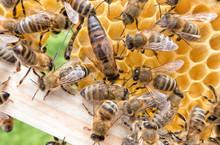 Bee Queen In Honeybee