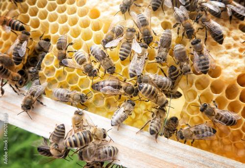 Bee queen in honeybee Canvas Print