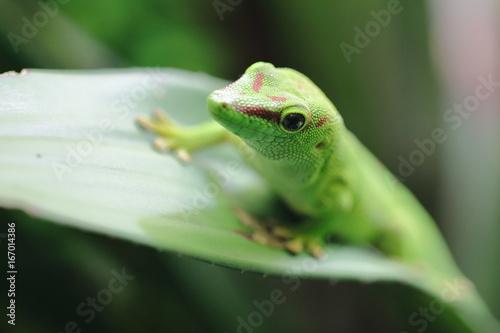 Lézard vert de Manapany à l'affût Tableau sur Toile