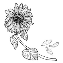 Black White Sunflower On A Branch With Leaves