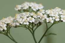 Achillea Flowers Over Green Ba...