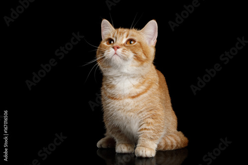 Fotografie, Obraz  Red Munchkin Cat Sitting and Looking up on Isolated Black background, front view