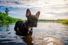 Funny Dog French Bulldog In Wa...