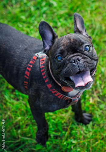 Foto op Plexiglas Franse bulldog French bulldog. Funny dog