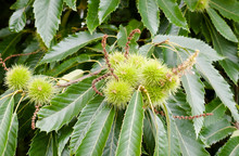 Growing Spiked Green Chestnuts...
