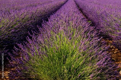 In de dag Lavendel Blühender Lavendel in der Provence bei Valensole