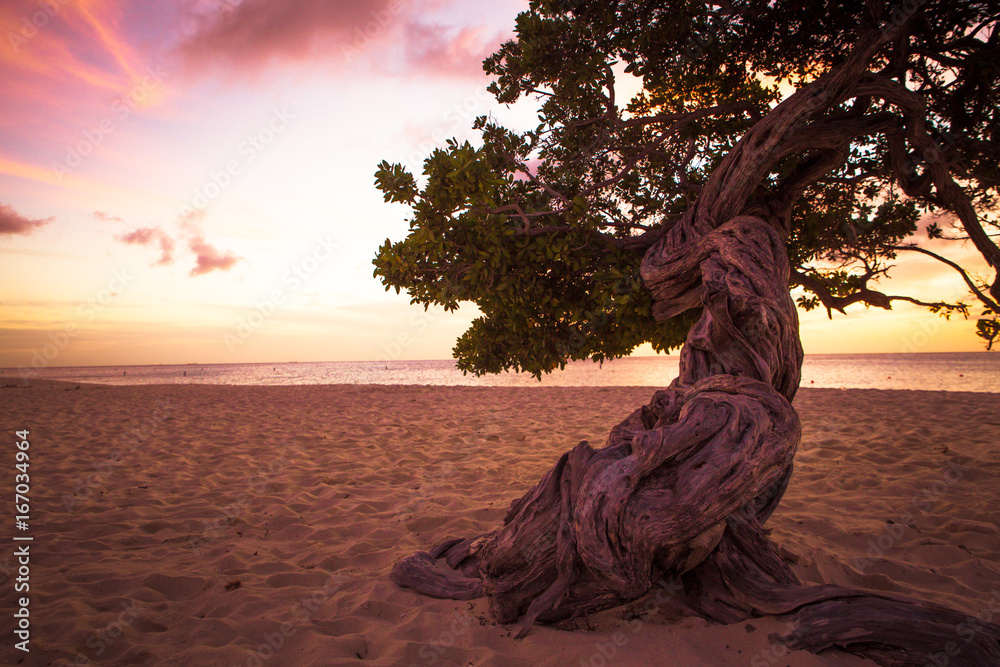 Fototapeta Twisted divi divi tree on Aruba beach at sunset