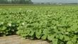 野菜畑 ごぼう