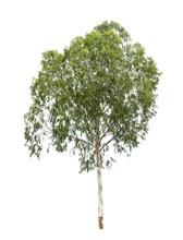 Isolated Eucalyptus Tree On White Background