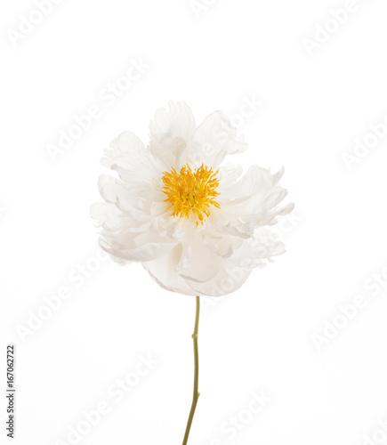 In de dag Madeliefjes peony flower