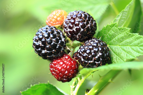 Fotografija  blackberries plant background with fruits
