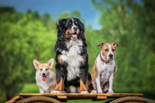 Group Of Three Trained Dogs In...