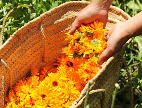 Obraz harvesting calendula flowers - fototapety do salonu