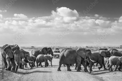 Garden Poster Bestsellers Tourists in safari jeeps watching big hird of wild elephants crossing dirt road in Amboseli national park, Kenya. Peak of Mount Kilimanjaro in clouds in background. Black and white.