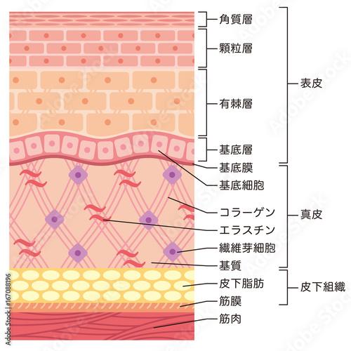 Obraz 皮膚の構造 肌図 断面図 - fototapety do salonu