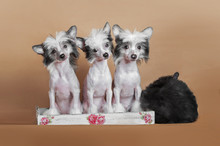 Chinese Crested Dog Puppies Si...