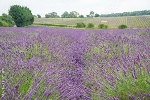 Tuinposter Lavendel Lavender fields in the summertime