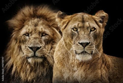 Foto op Plexiglas Leeuw Lion couple