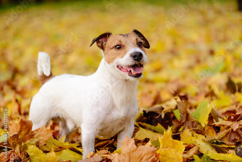 Fotografie, Obraz  Adorable Jack Russell Terrier pet dog standing on autumn yellow leaves