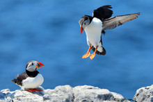 Puffin Landing Next To A Puffin