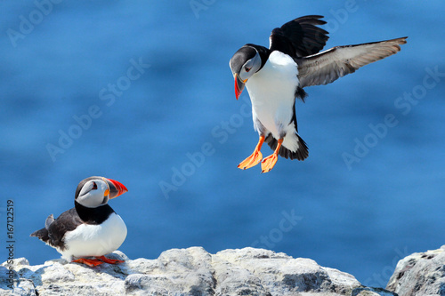 Fotomural  Puffin landing next to a puffin