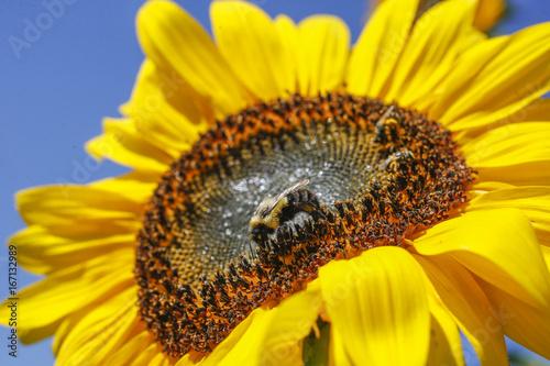 macro-photo-of-bumblebee-pollinating