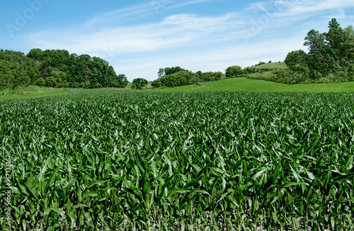 Corn Fields on the Fourth of July:  Corn stalks reach a height of 3-4 feet in early July on a small farm in southern Wisconsin Canvas-taulu