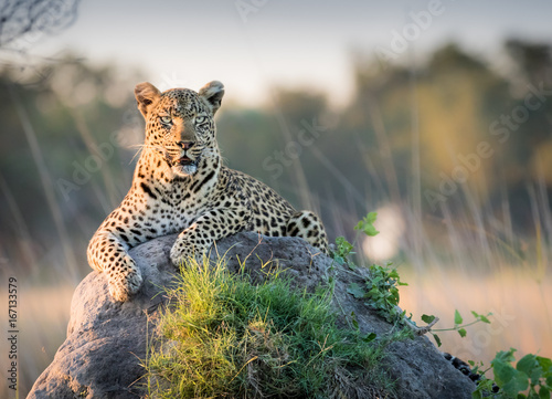 Foto auf AluDibond Leopard Beautiful Leopard reclines on top of a termite mound surveying the horizon for trouble