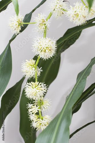Dracaena fragrans flower Billede på lærred