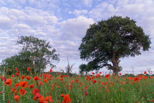 Foto op Plexiglas Blauwe hemel Red poppies in a field in Leicester-shire at summertime