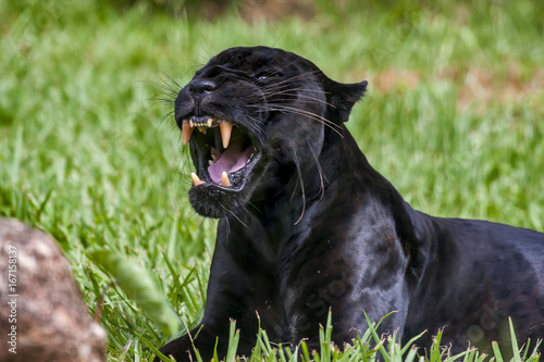 La pose en embrasure Panthère Onça-preta (Panthera onca) | Jaguar