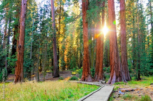 Spoed Foto op Canvas Natuur Park Sunbeams through the giant trees of Sequoia National Park, California, USA