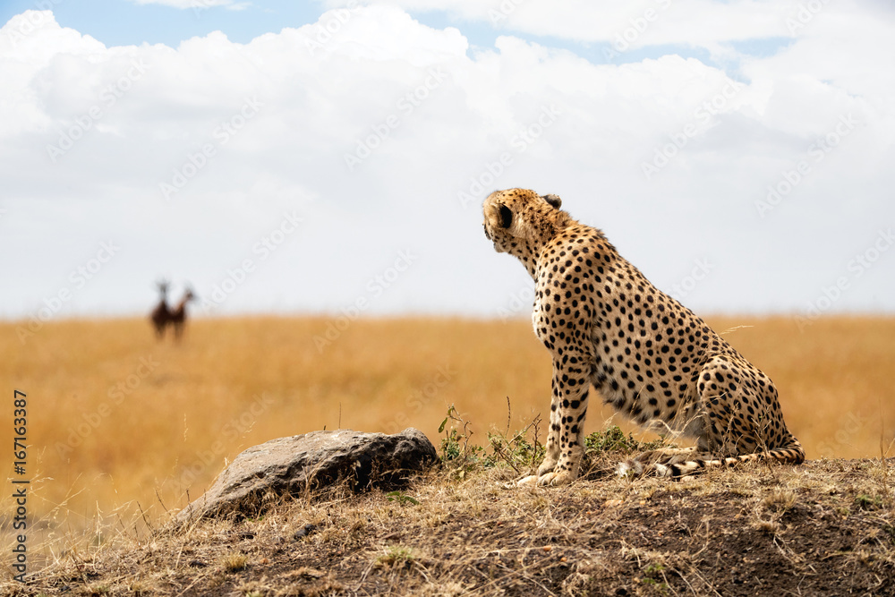Cheetah looking at Prey in Background