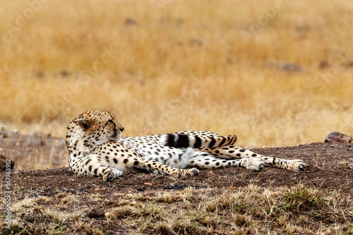 Fotobehang Cheetah waking up from a nap in Africa
