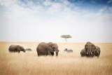 Fototapeta Sawanna - Elephants Grazing in Kenya Africa