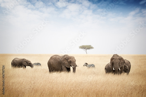Elephants Grazing in Kenya Africa