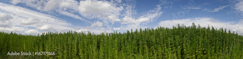 cannabis on a farm dancing in the wind Wallpaper Mural