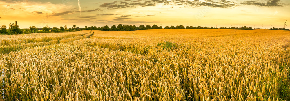 Fototapety, obrazy: Golden wheat field and sunset sky, landscape of agricultural grain crops in harvest season, panorama