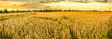 Golden Wheat Field And Sunset Sky, Landscape Of Agricultural Grain Crops In Harvest Season, Panorama