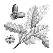 Sessile Oak (Quercus Sessiliflora) - Vintage Illustration