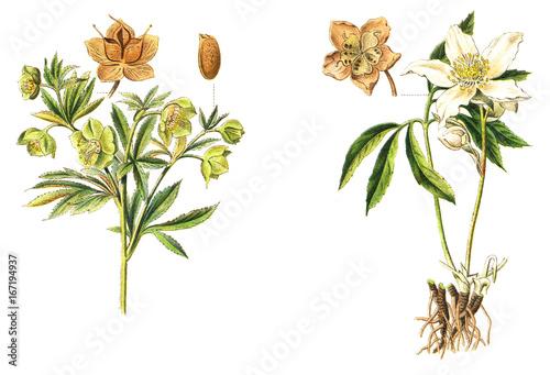 Fototapeta Green and black Hellebore - poisonous plants - vintage illustration  obraz na płótnie