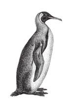 King Penguin (Aptenodytes Patagonicus) - Vintage Illustration