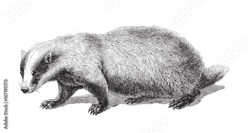 Badger (Meles Taxus) - vintage illustration Canvas Print