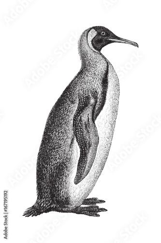 King Penguin (Aptenodytes patagonicus) - vintage illustration Canvas Print