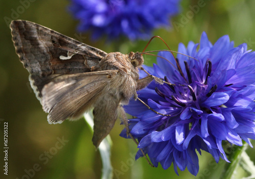 European Silver Y Moth (Autographa gamma) feeding on a