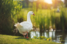 White Goose Walking On Green G...