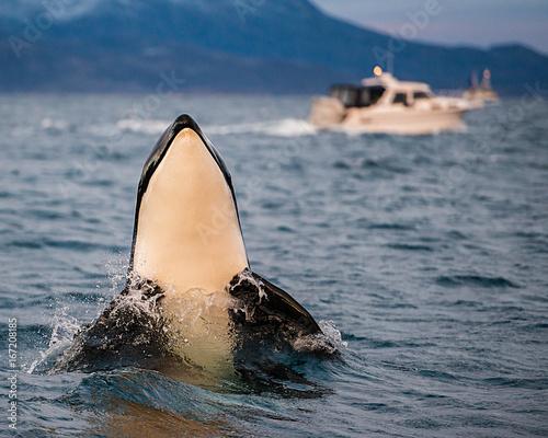 Fototapeta Orca calf spy hopping, Norway.
