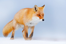 Red Fox In White Snow. Cold Winter With Orange Fur Fox. Hunting Animal In The Snowy Meadow, Germany. Beautiful Orange Coat Animal Nature. Wildlife Europe. Detail Close-up Portrait Of Nice Fox.