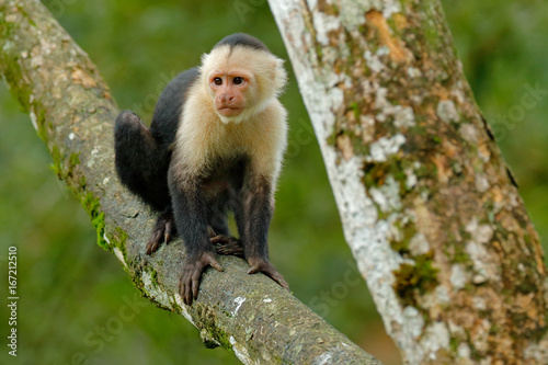 Photo  White-headed Capuchin, black monkey sitting on the tree branch in the dark tropic forest