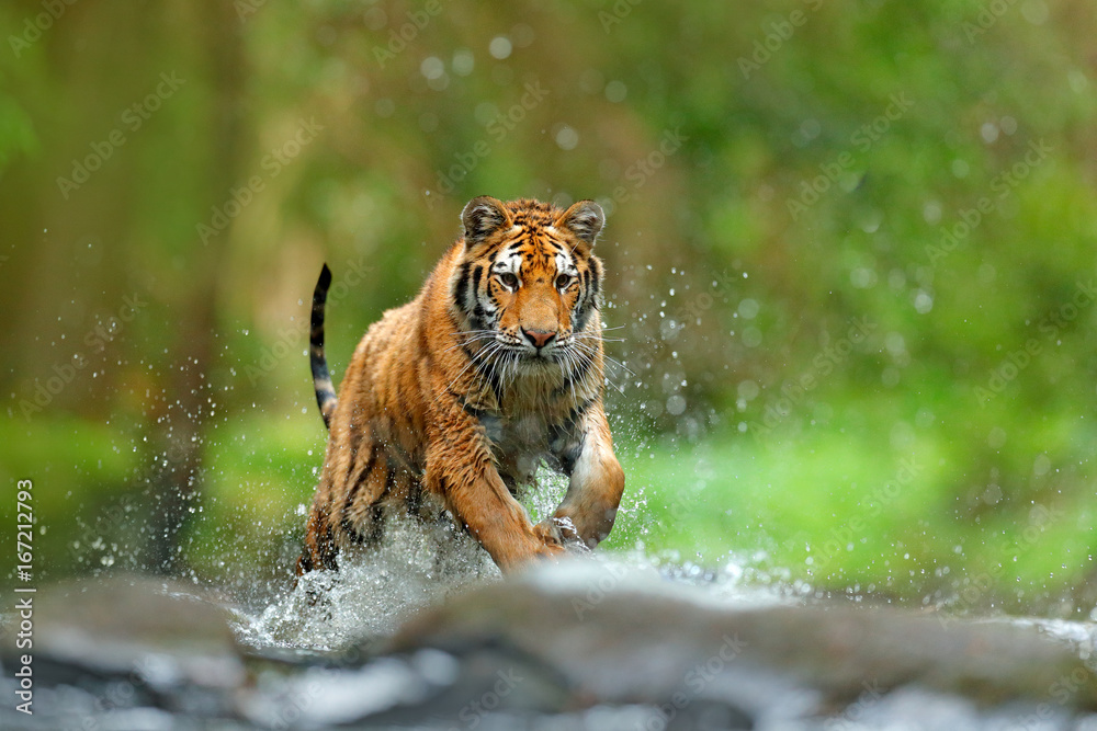 Fototapeta Tiger with splash river water. Action wildlife scene with wild cat, nature habitat. Tiger running in the water. Danger animal, tajga in Russia. Animal in the forest stream. Grey Stone, river droplet.